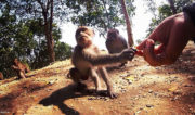 Shaking Hands w/ a Wild Monkey on Lombok Island, Indonesia /// Vinjatek