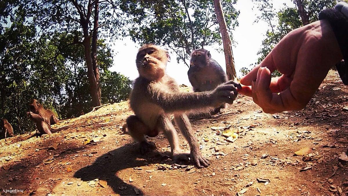 Shaking Hands w/ a Wild Monkey on Lombok Island, Indonesia /// Vinjatek