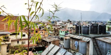 Wild Marijuana Plant in Kathmandu, Nepal /// Vinjatek